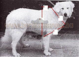 Kutya testméretek felvétele marhabőr kutyahámhoz